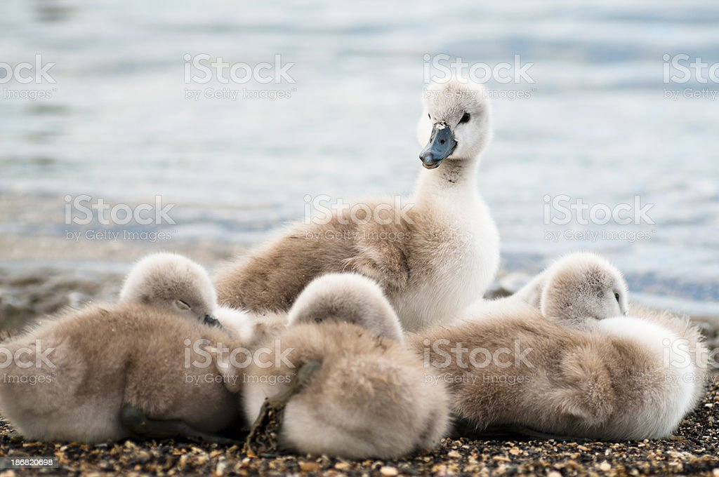 Baby swan royalty-free stock photo