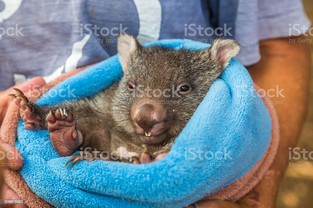 Baby sweet Wombat stock photo