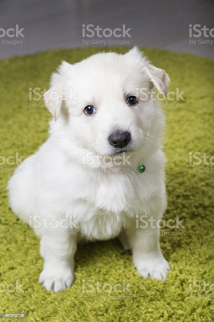 Baby swiss shepherd sitting stock photo