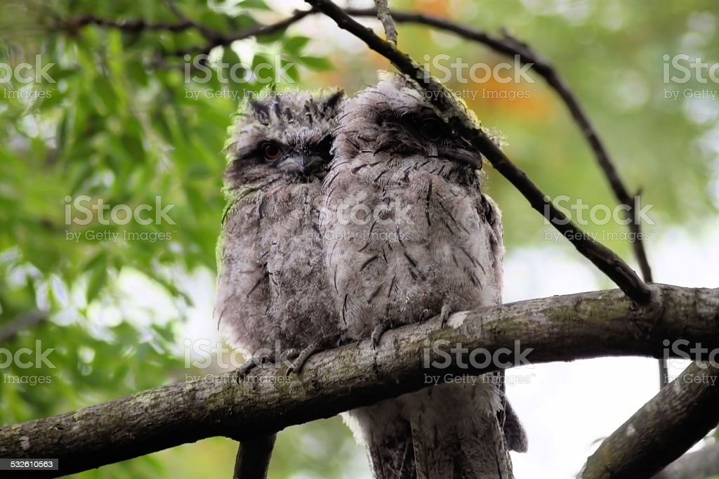 Baby tawny frogmouth birds. stock photo