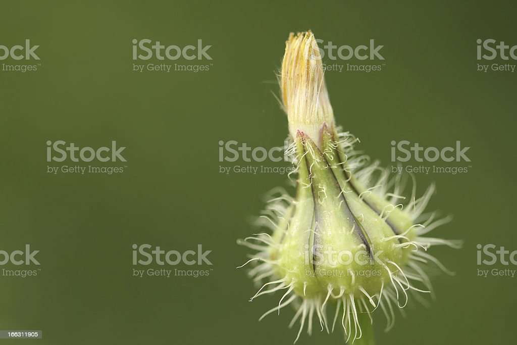 Baby Thistle royalty-free stock photo