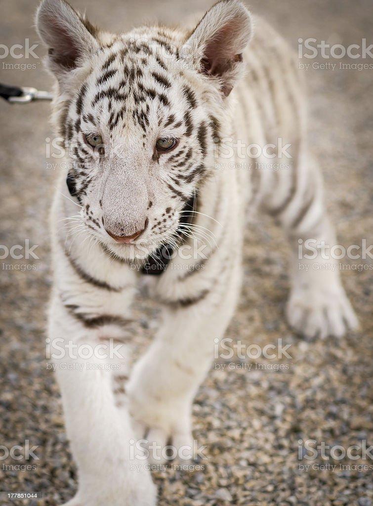 Baby Tiger Walk stock photo