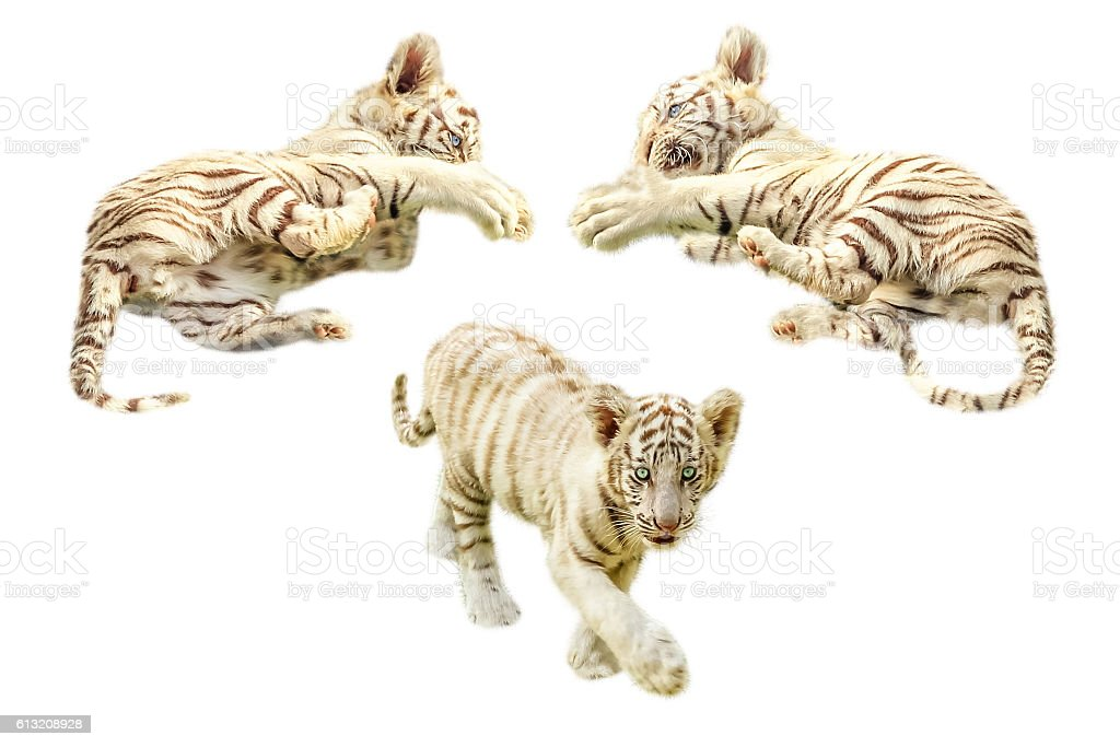 Baby tigers playing stock photo