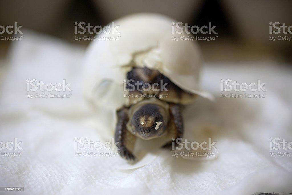 Baby Tortoise Hatching stock photo
