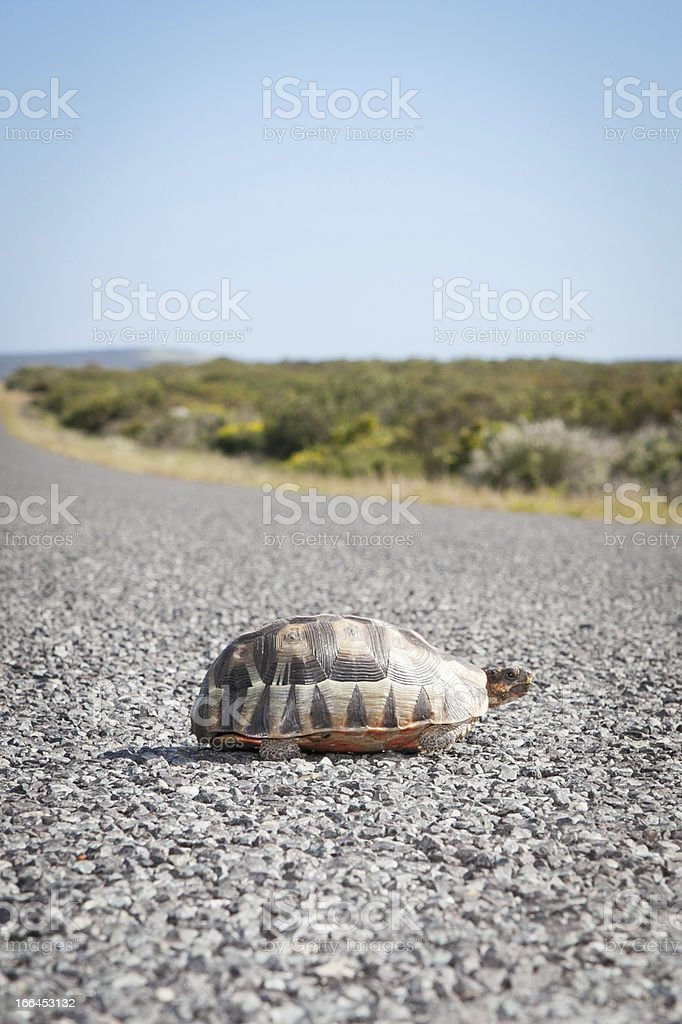 Baby tortoise sitting on a hot tar road stock photo