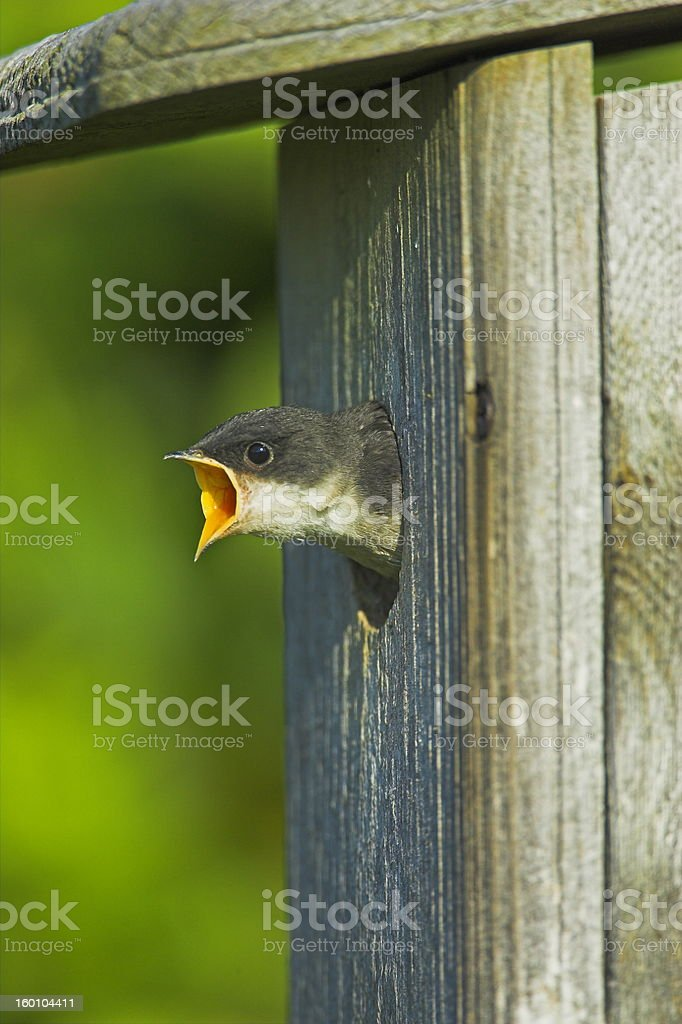 baby tree swallow royalty-free stock photo