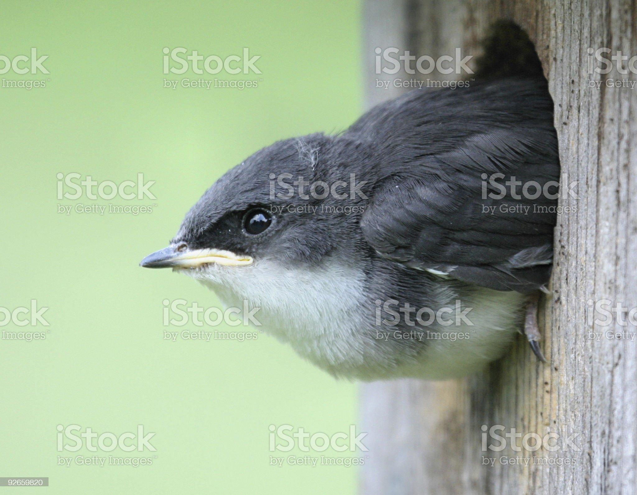 Baby Tree Swallow Ready to Take Flight royalty-free stock photo