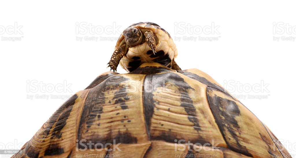 Baby turtle climbed on top large tortoise stock photo