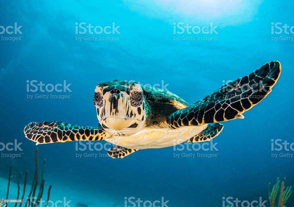 baby turtle face in Caymans stock photo