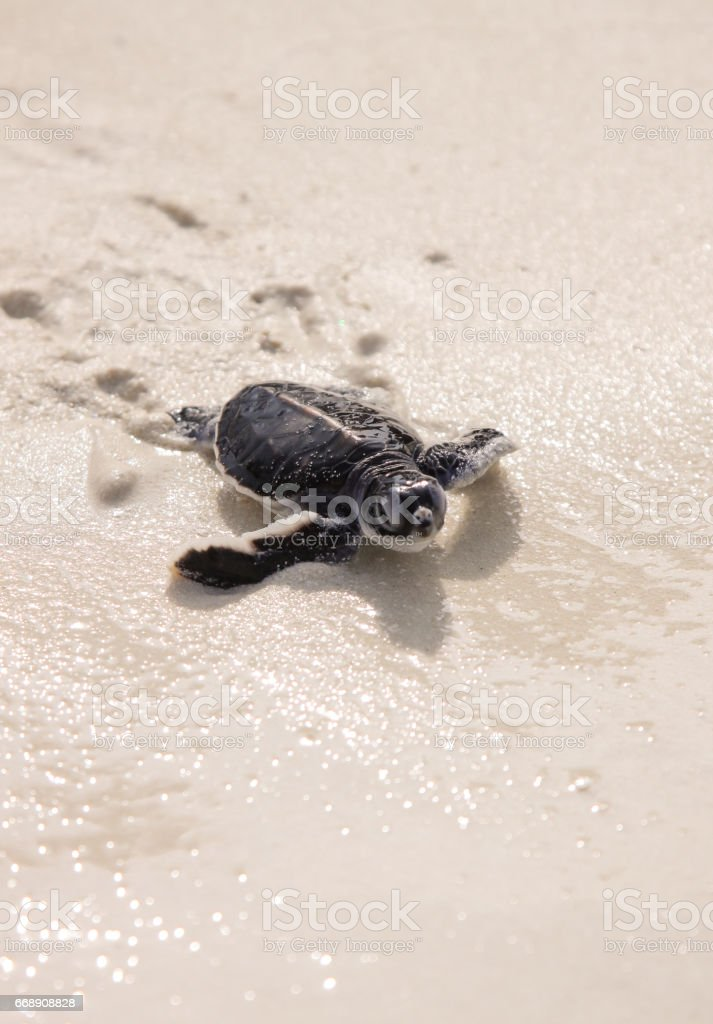 Baby Turtle hatching stock photo