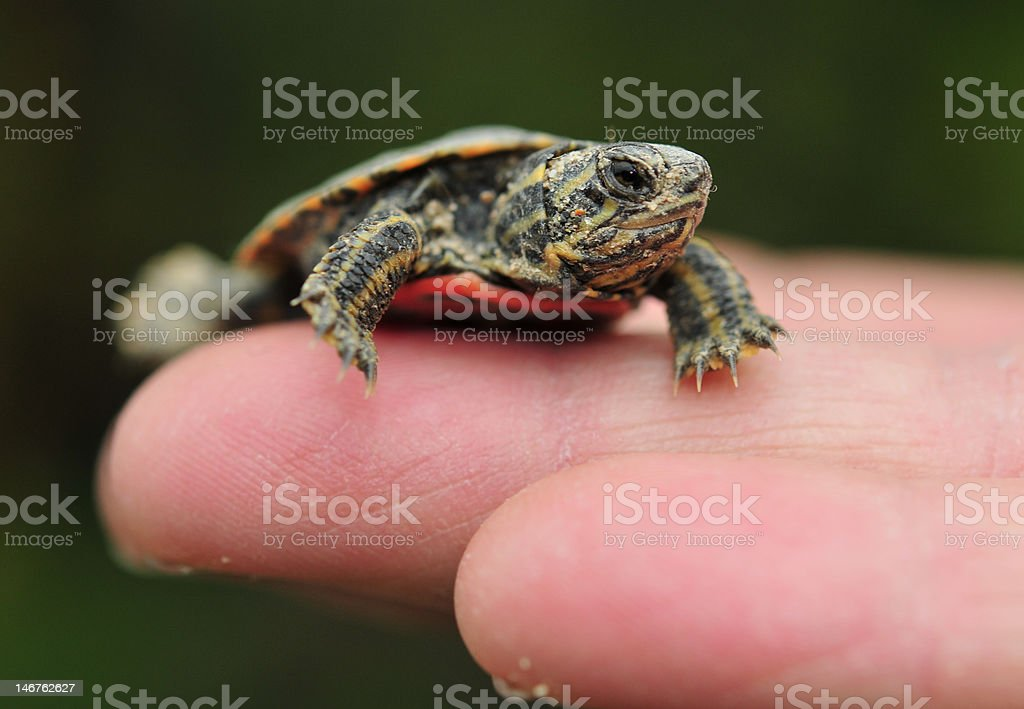 Baby turtle in Hand stock photo