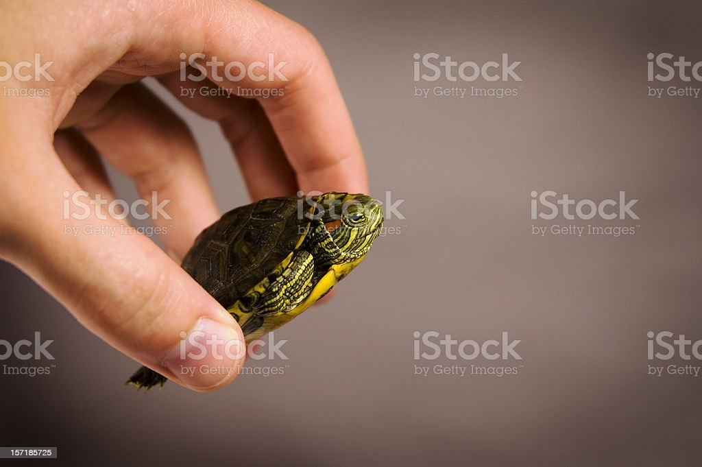 Baby turtle in hand with warm background stock photo