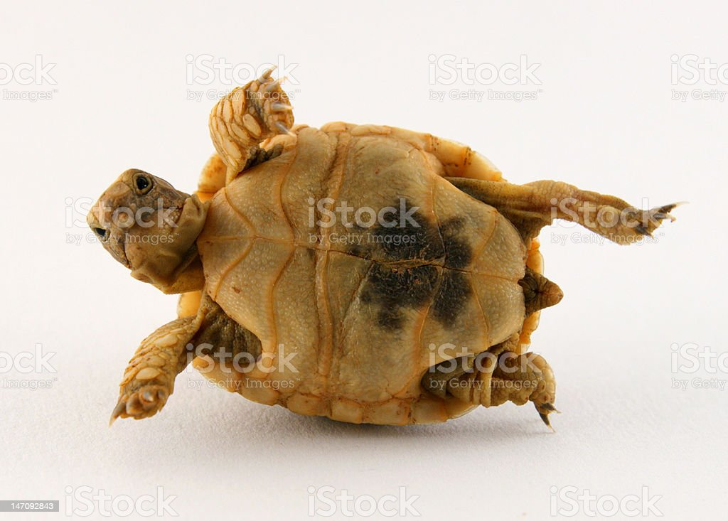 Baby Turtle on His Back stock photo