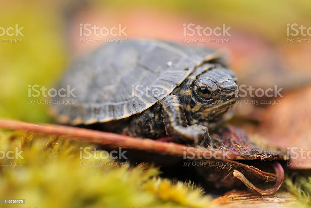 Baby turtle on seed pod royalty-free stock photo