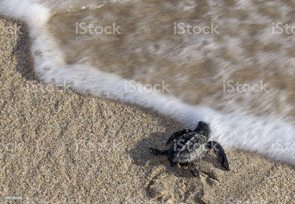 Baby Turtle Reaching the Water stock photo