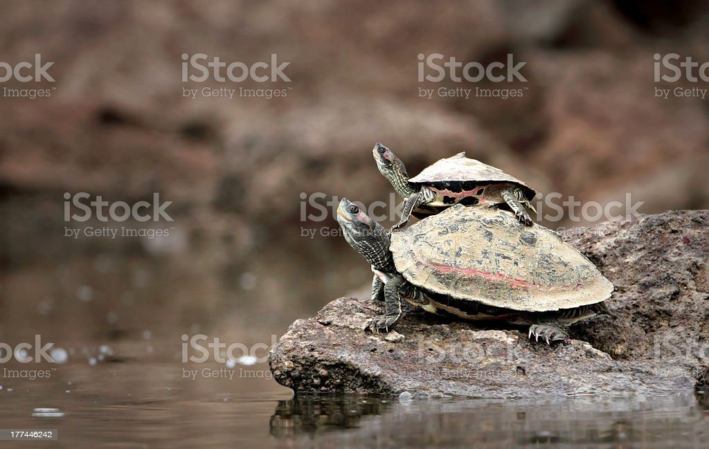 Baby Turtle Riding on Mother's Back stock photo