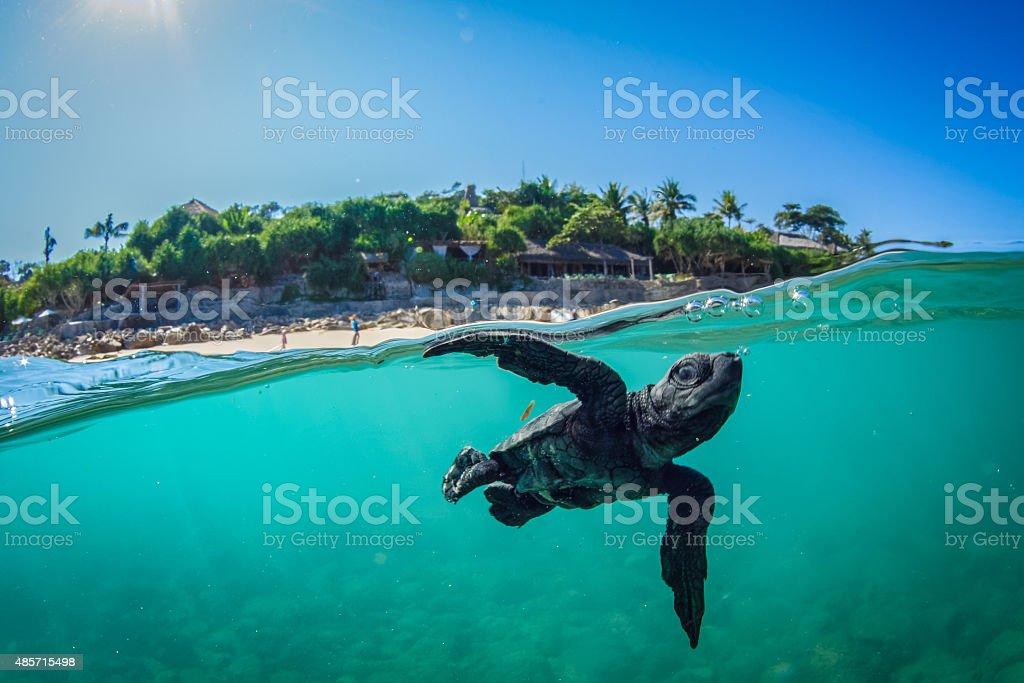 Baby turtle swimming. stock photo