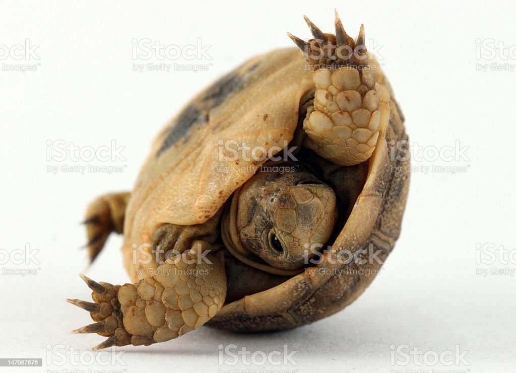 Baby Turtle Tipping in Shell royalty-free stock photo