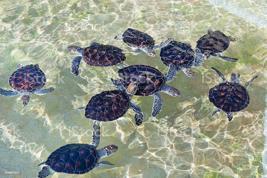 Baby Turtles at Cayman Turtle Farm stock photo