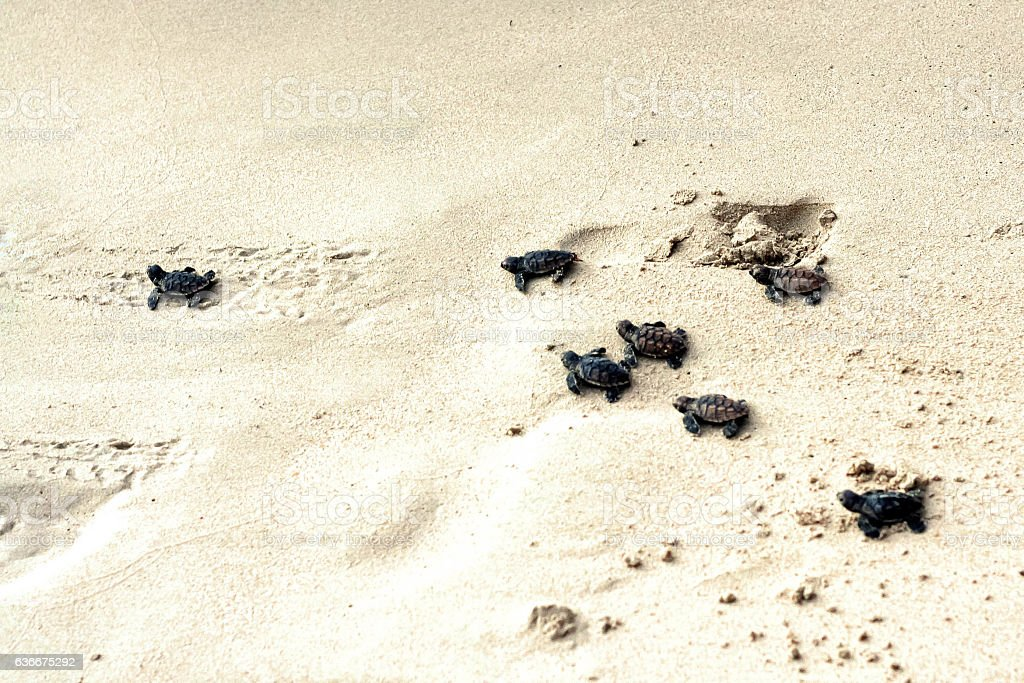 Baby turtles walking to the sea stock photo