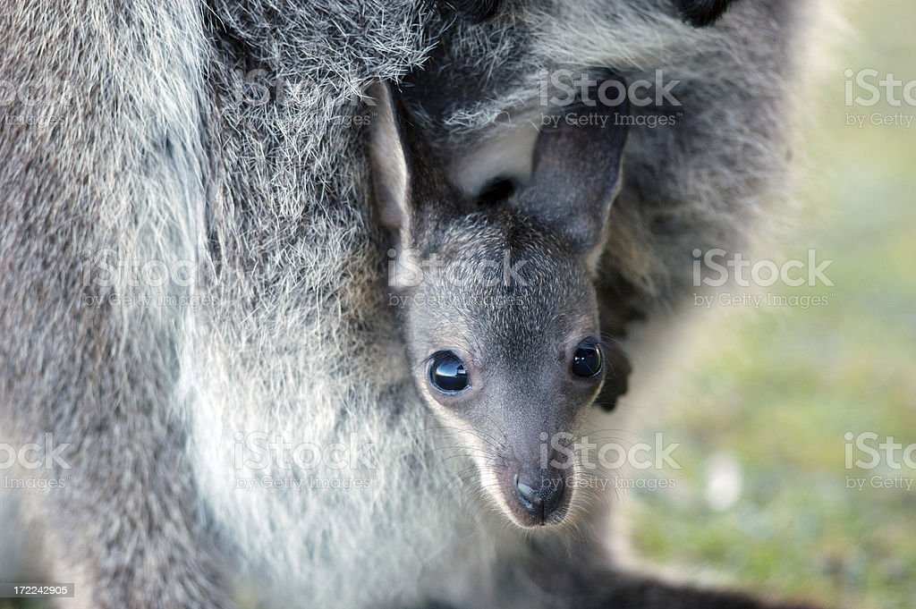 baby wallaby in her pouch stock photo