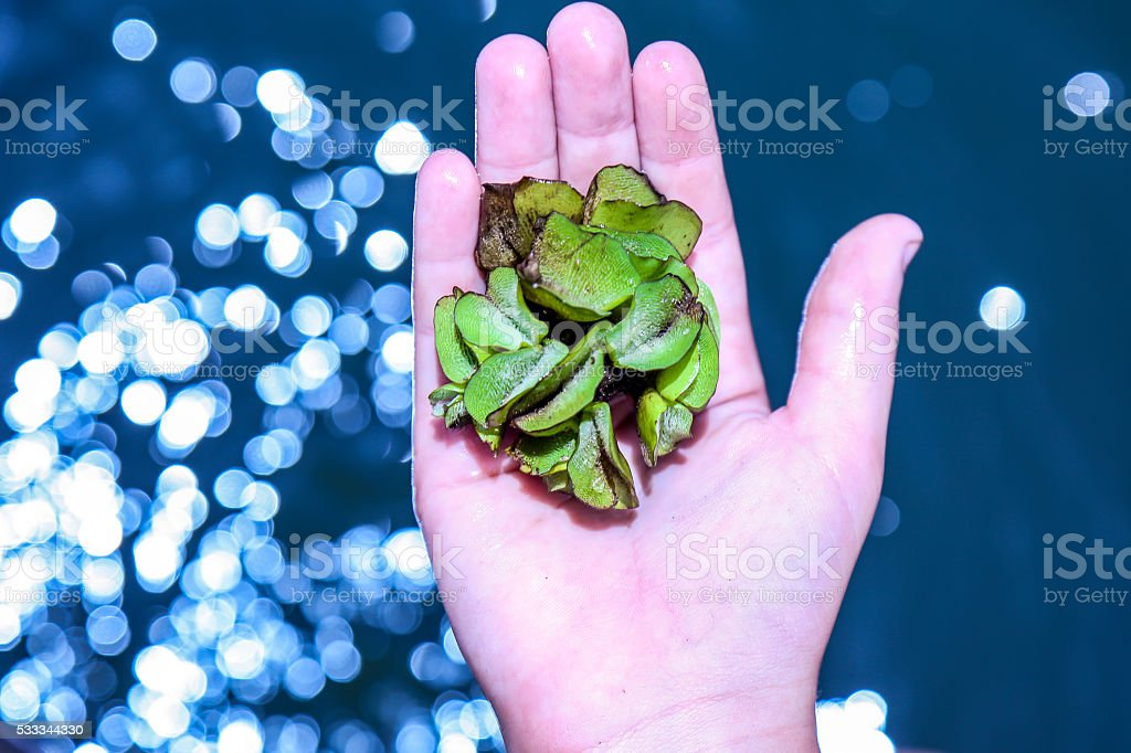 Baby Water Hyacinth in a Child's Hand stock photo
