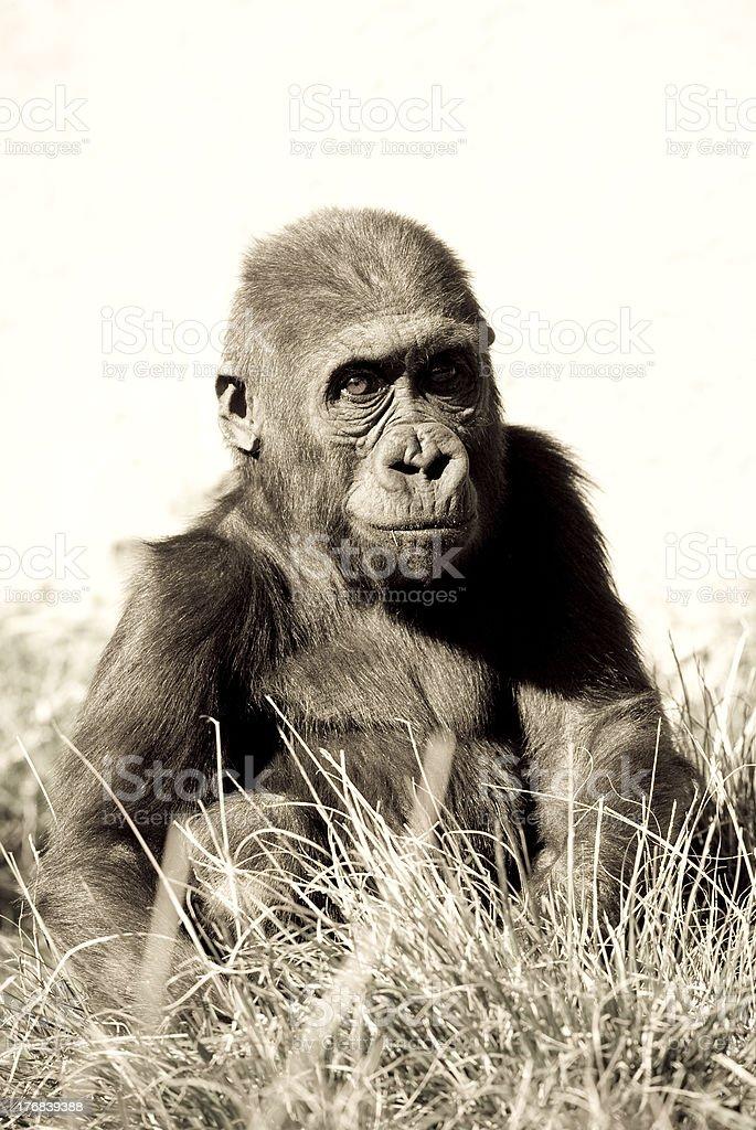 Bébé Gorille de plaine de l'Ouest photo libre de droits