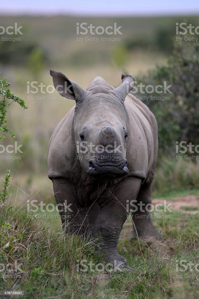 Baby white rhino / rhinoceros calf stock photo