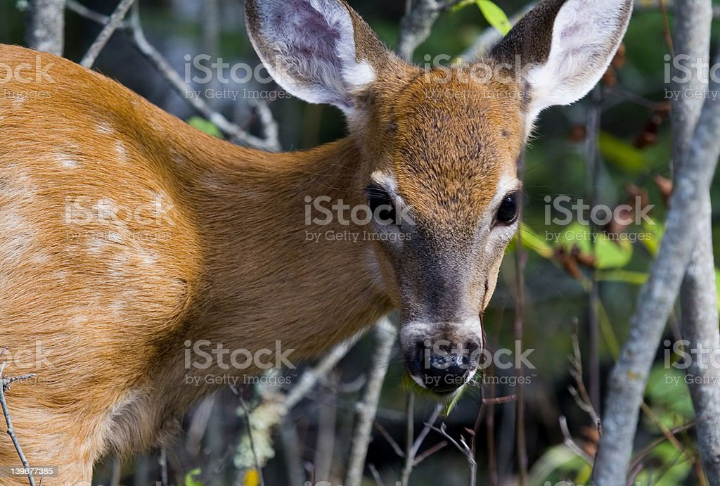 Baby White Tailed Deer royalty-free stock photo