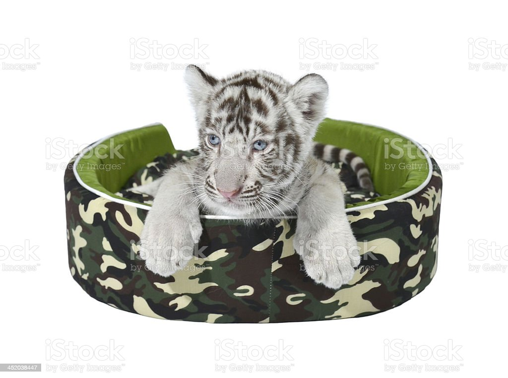 baby white tiger laying in a mattress isolated royalty-free stock photo
