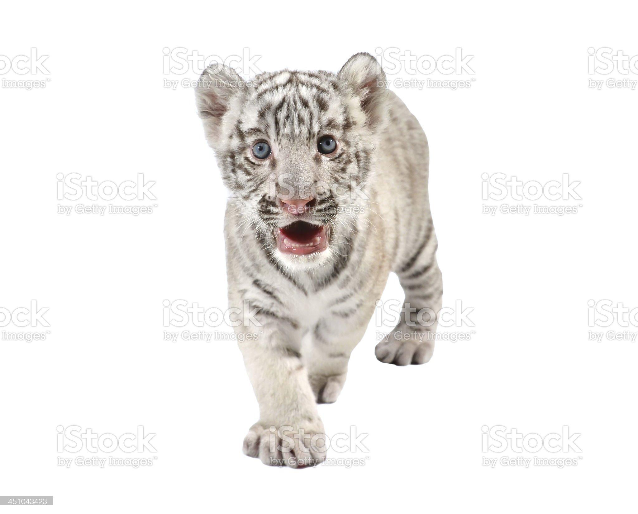baby white tiger royalty-free stock photo
