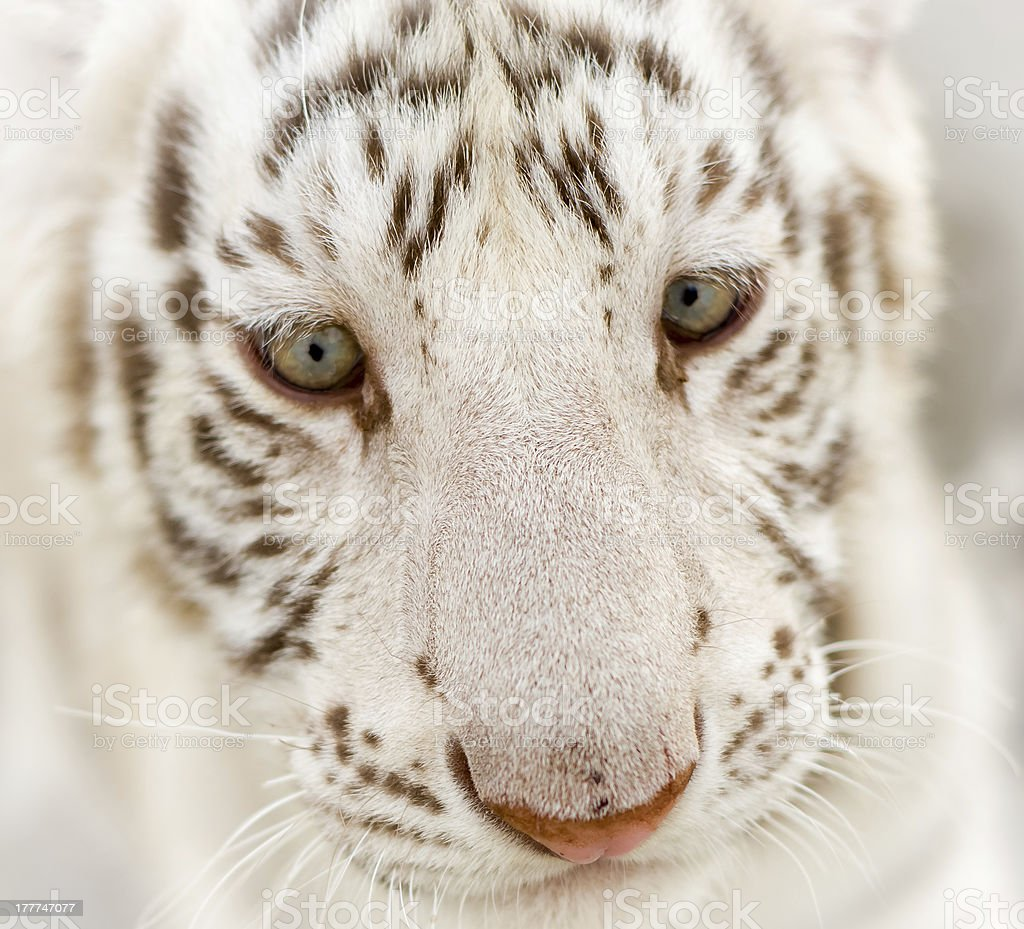Baby White Tiger's Face and Eyes stock photo