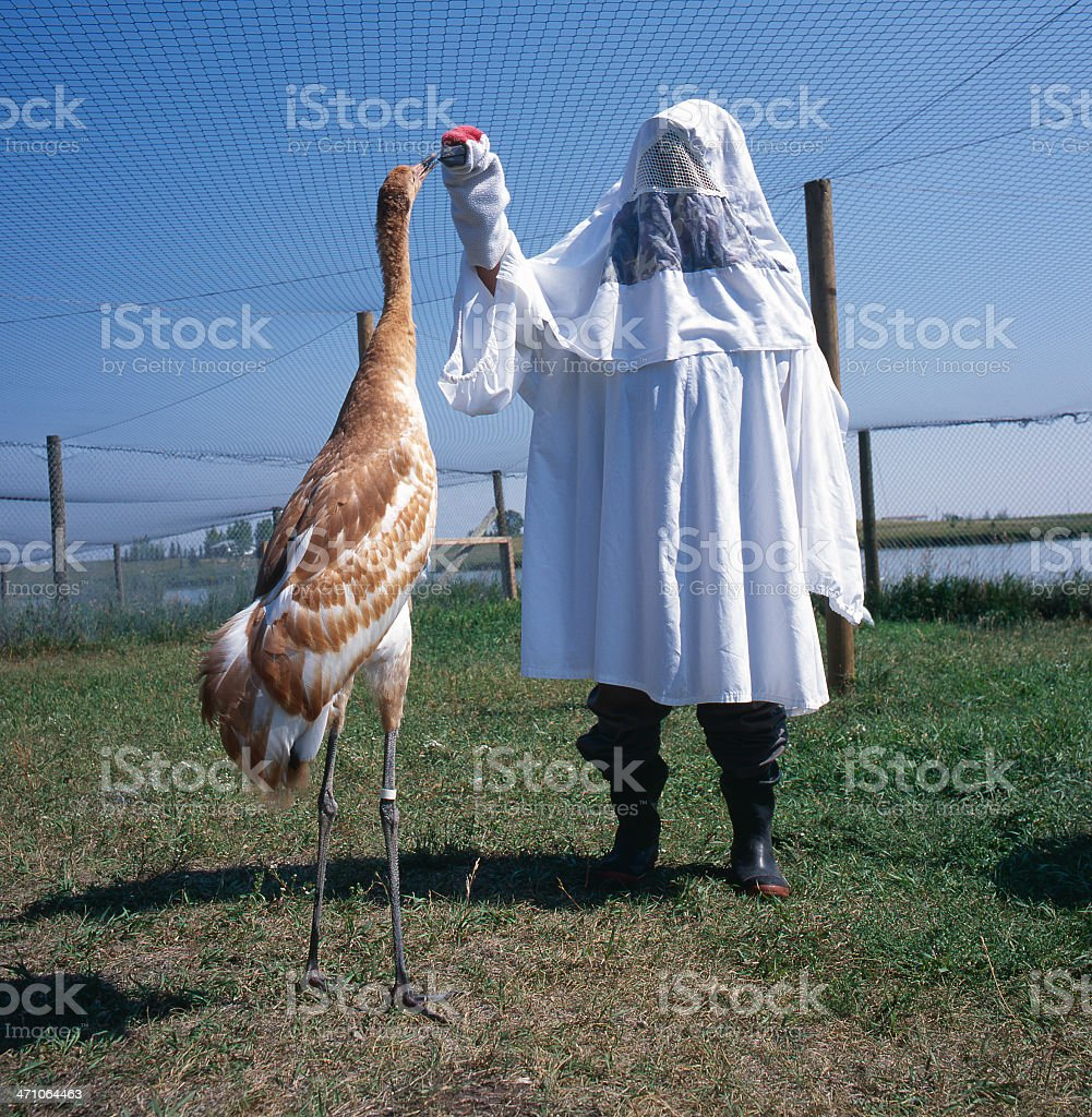 Baby Whooping Crane #2 royalty-free stock photo