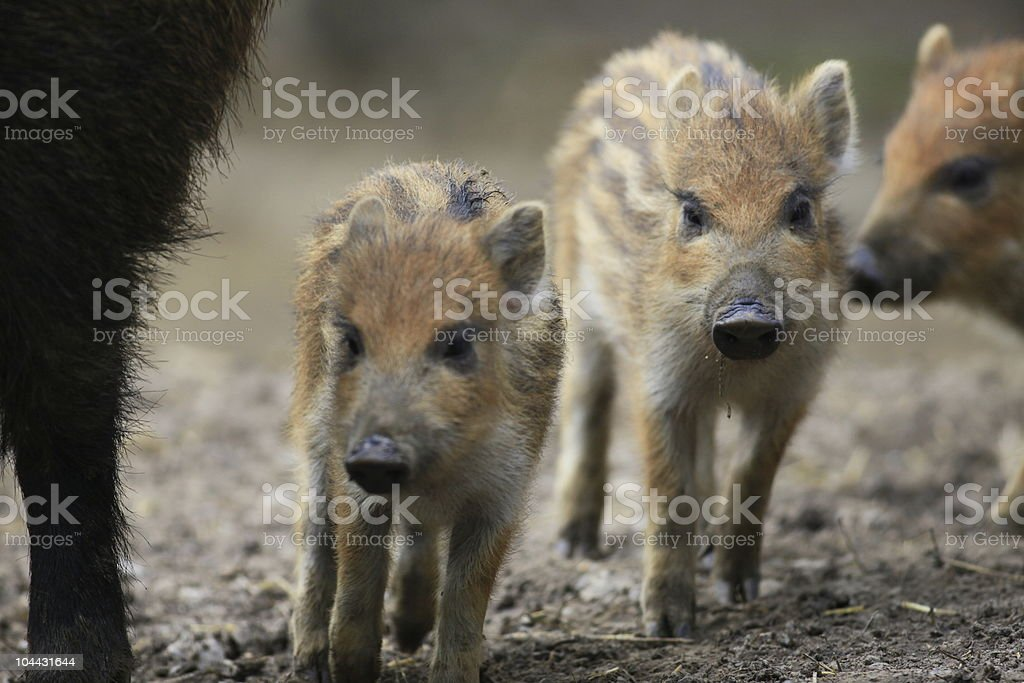 baby wild boar stock photo