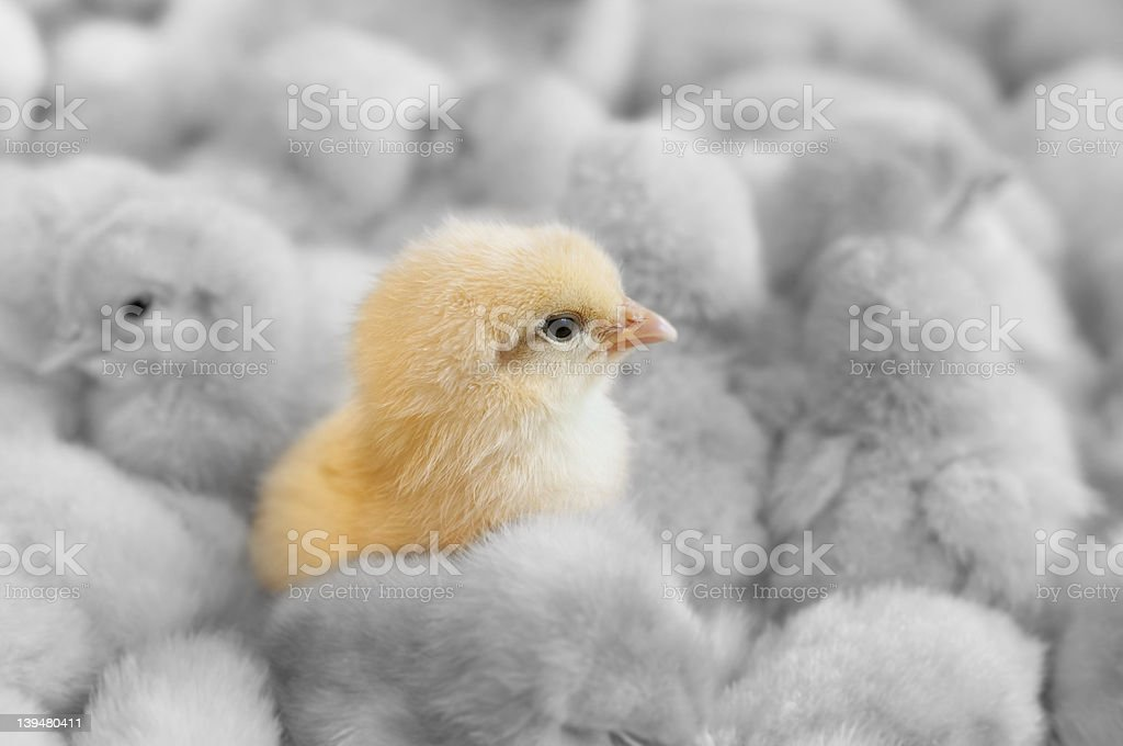 Baby yellow chick amongst black and white chicks royalty-free stock photo