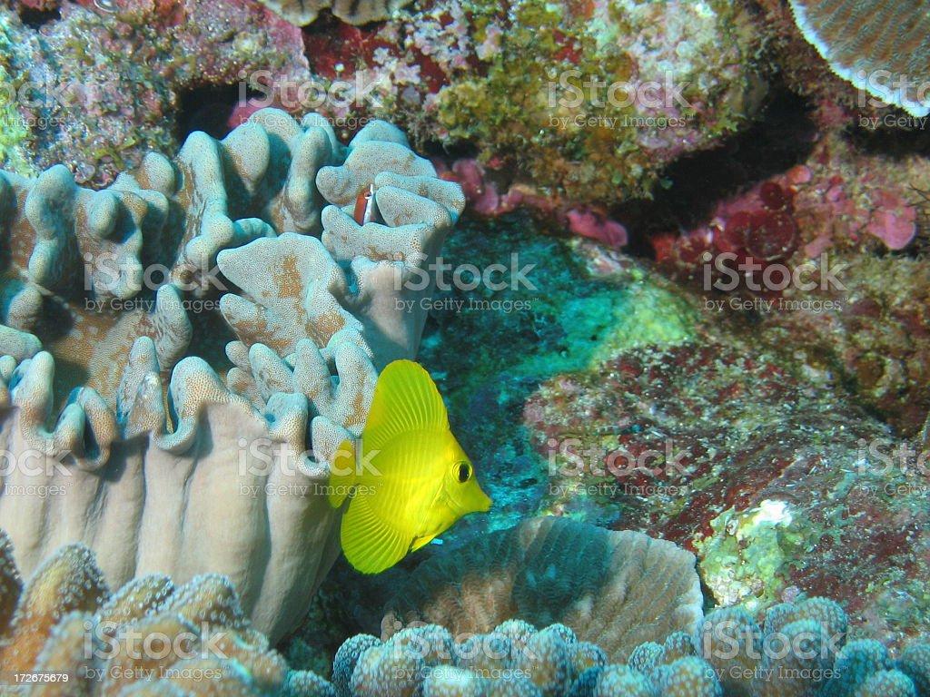 Baby Yellow Tang stock photo
