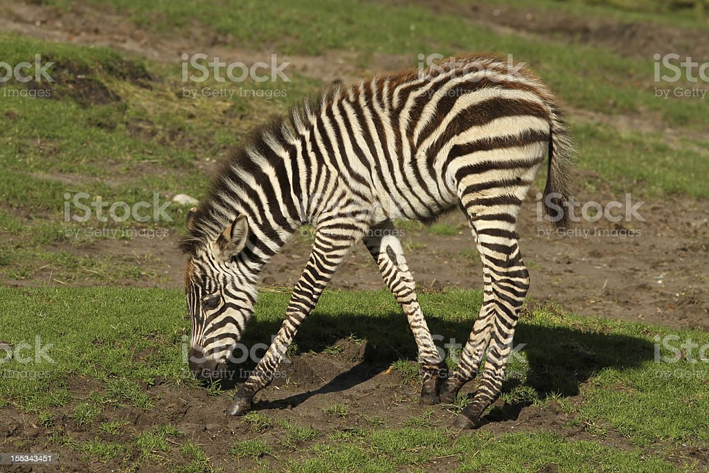 Baby zebra eating royalty-free stock photo