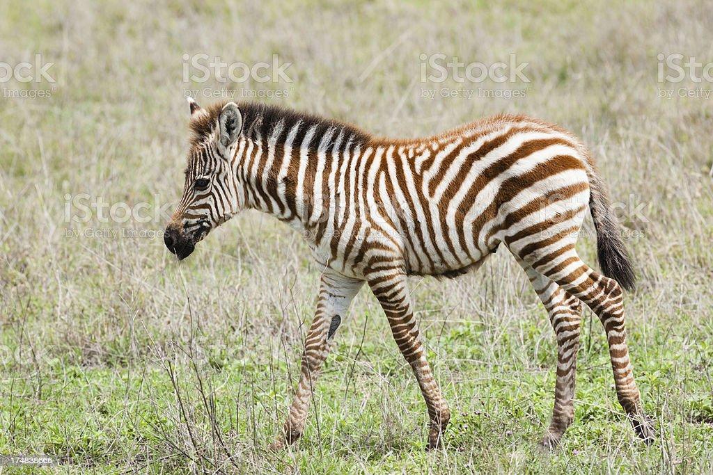 Baby Zebra royalty-free stock photo