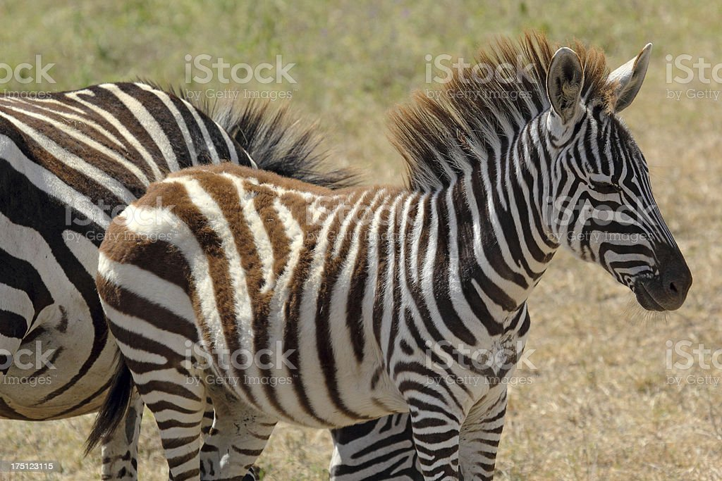 Baby zebra royalty-free stock photo