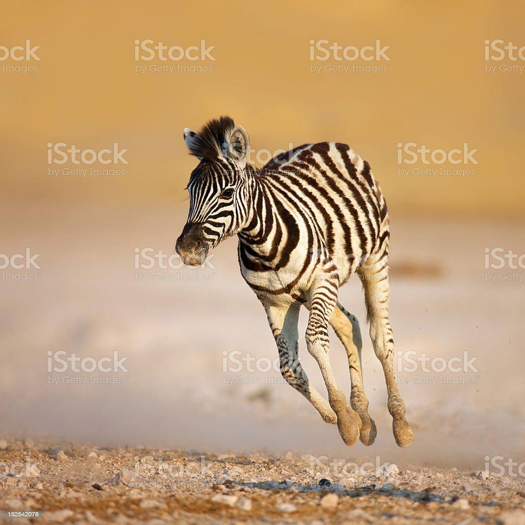 Baby zebra running stock photo