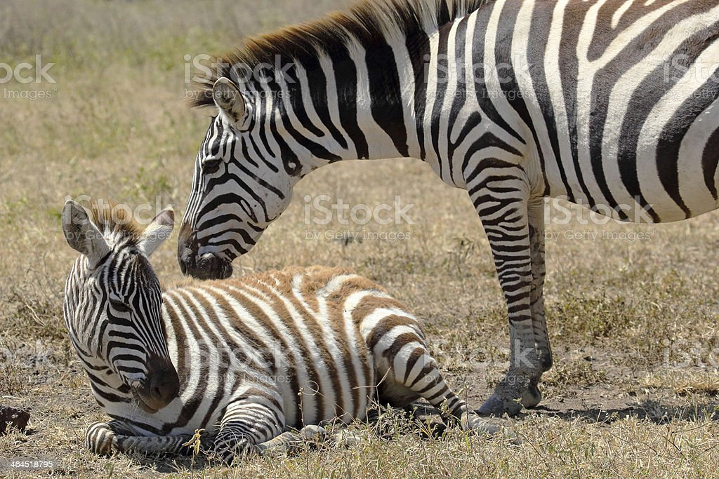 Baby zebra with mother royalty-free stock photo