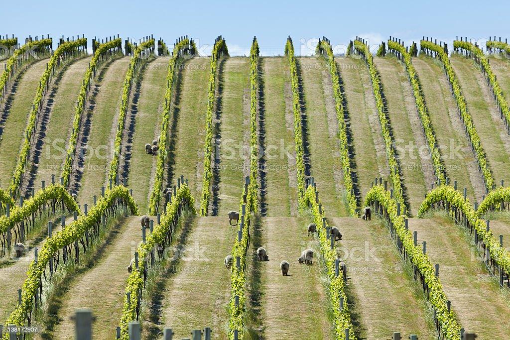 Babydoll sheep in a vineyard stock photo