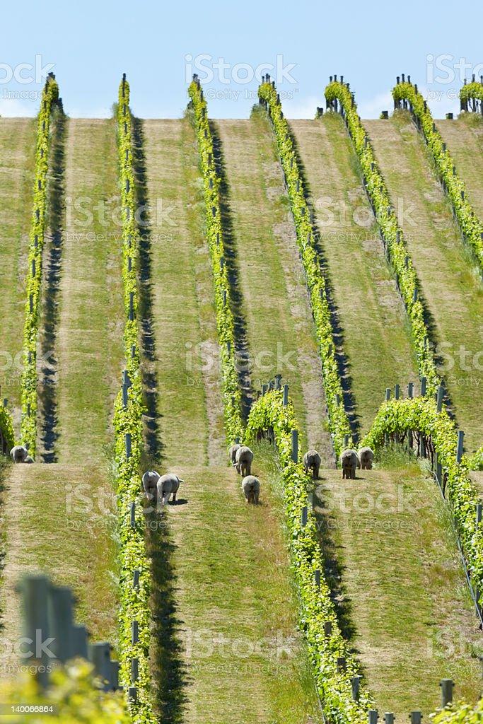 Babydoll sheep in a vineyard royalty-free stock photo