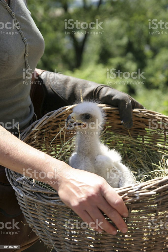 Baby-eagle in basket royalty-free stock photo