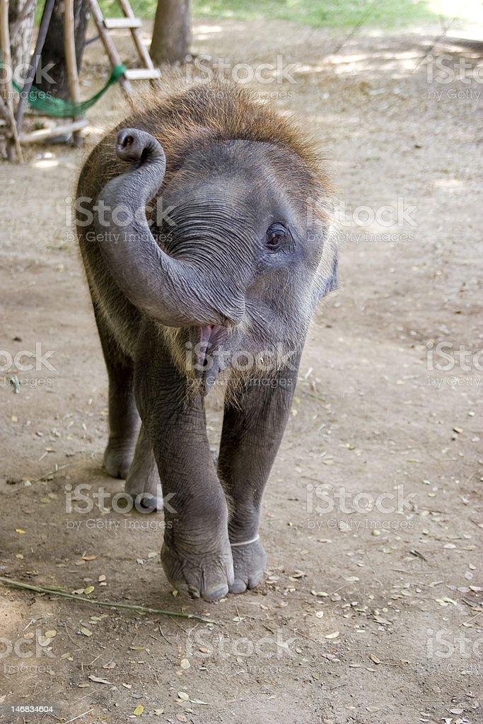 Babyelefant royalty-free stock photo