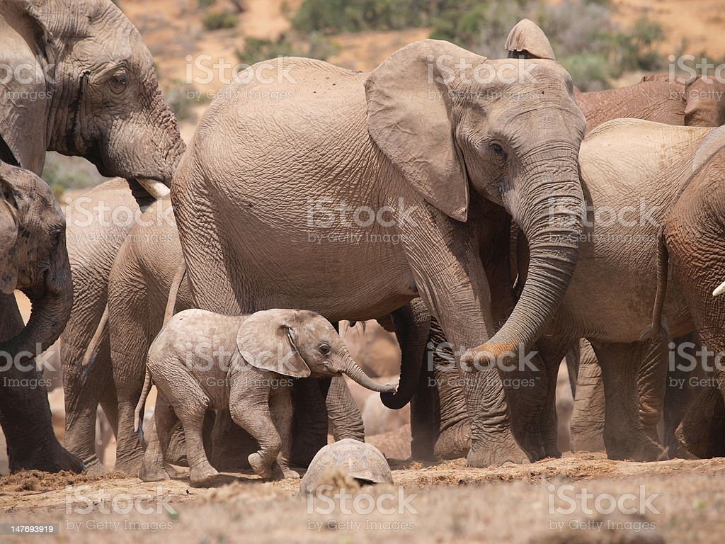 Baby-Elephant searching  for its mother stock photo