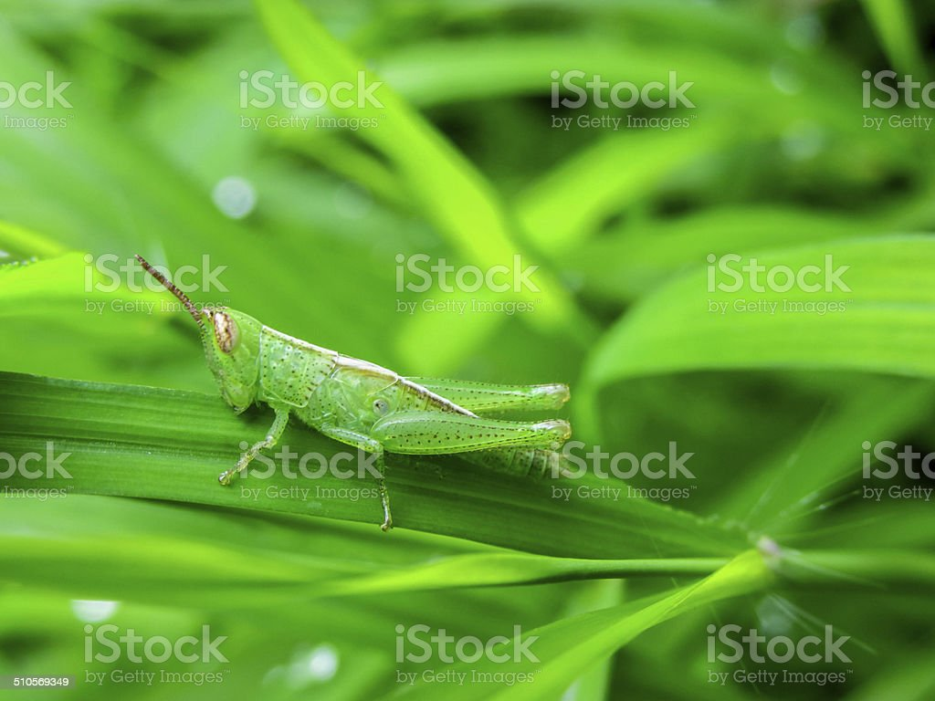 Baby-grasshopper on green grass stock photo