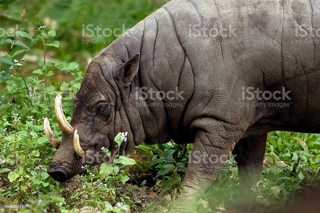 babyrousa babyrussa highly endangered species royalty-free stock photo