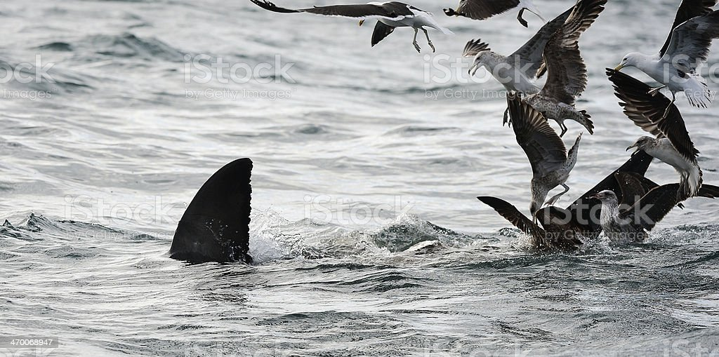 Back Fin of a white shark  and Seagulls stock photo