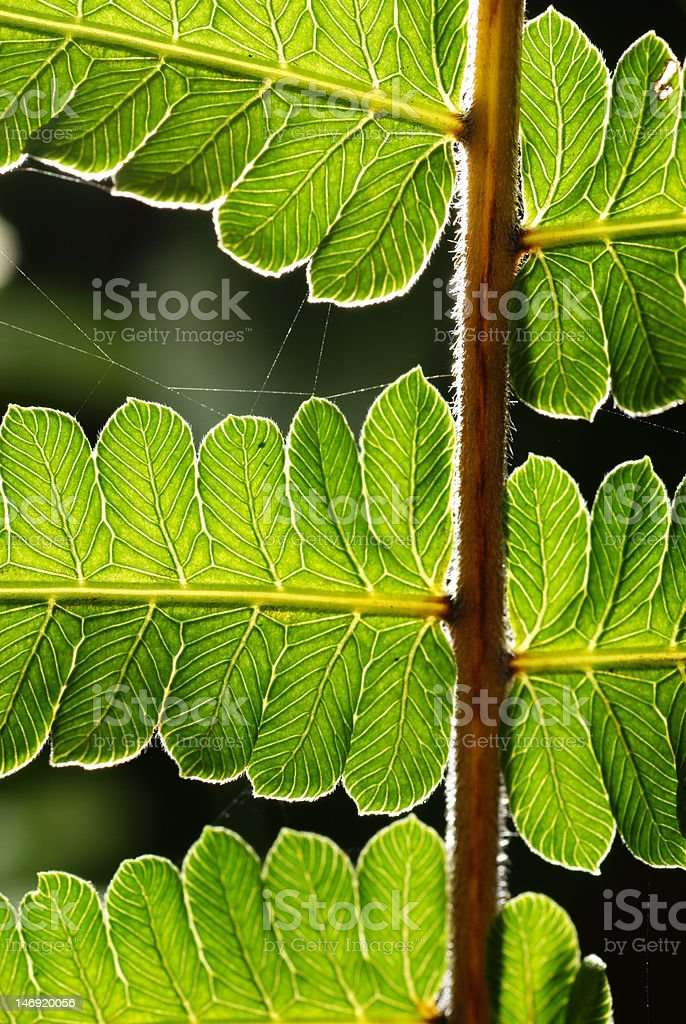 Back lighted leaves royalty-free stock photo